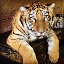 Photo of this tiger was taken by me with my iPhone 4S camera.