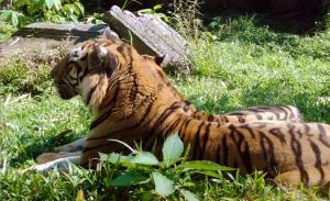 Tigers KRISSNESS